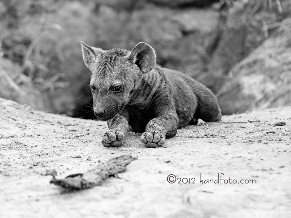 Close up of a Hyena Pup in Black & White