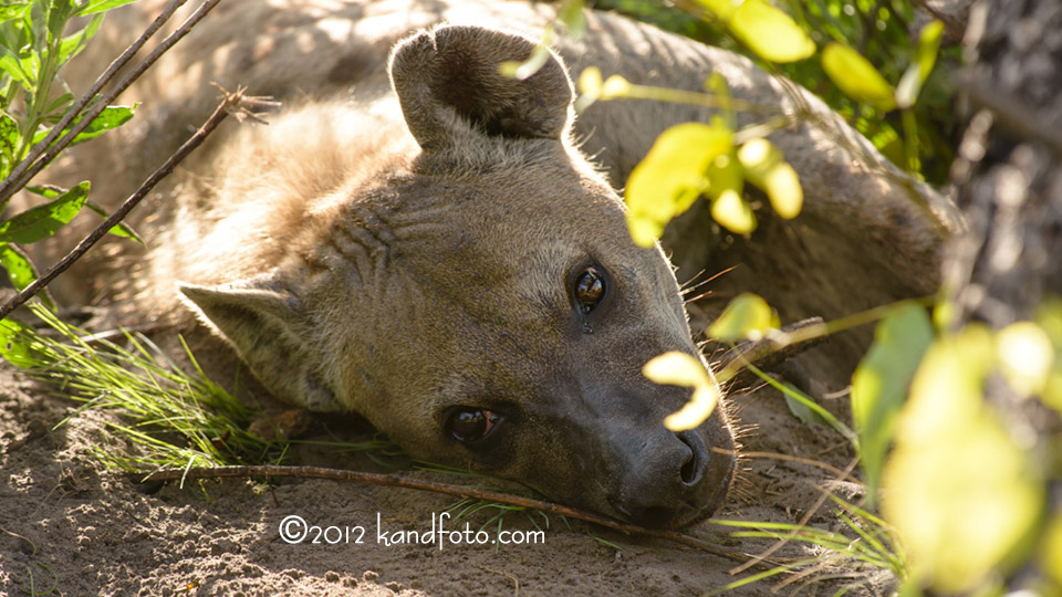 Siesta Time for Papa Hyena