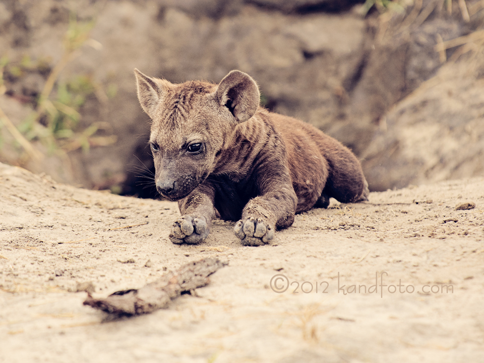 Close up of a Hyena Pup
