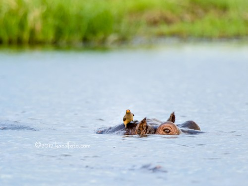Red-billed Oxpecker and the Hippo