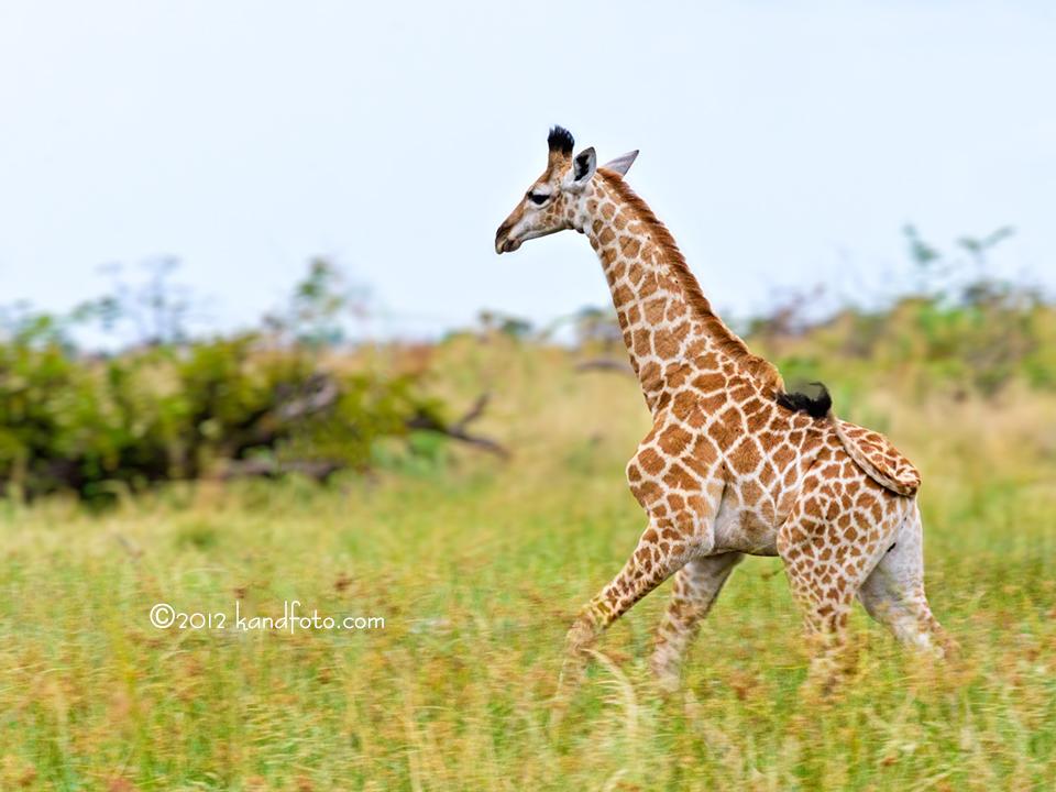 Baby Giraffe on the Run