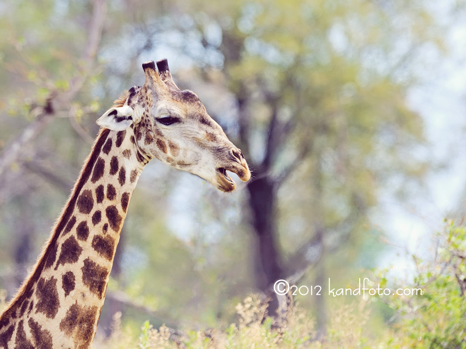 Closeup of a Giraffe