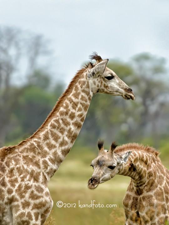 Twin_Giraffes