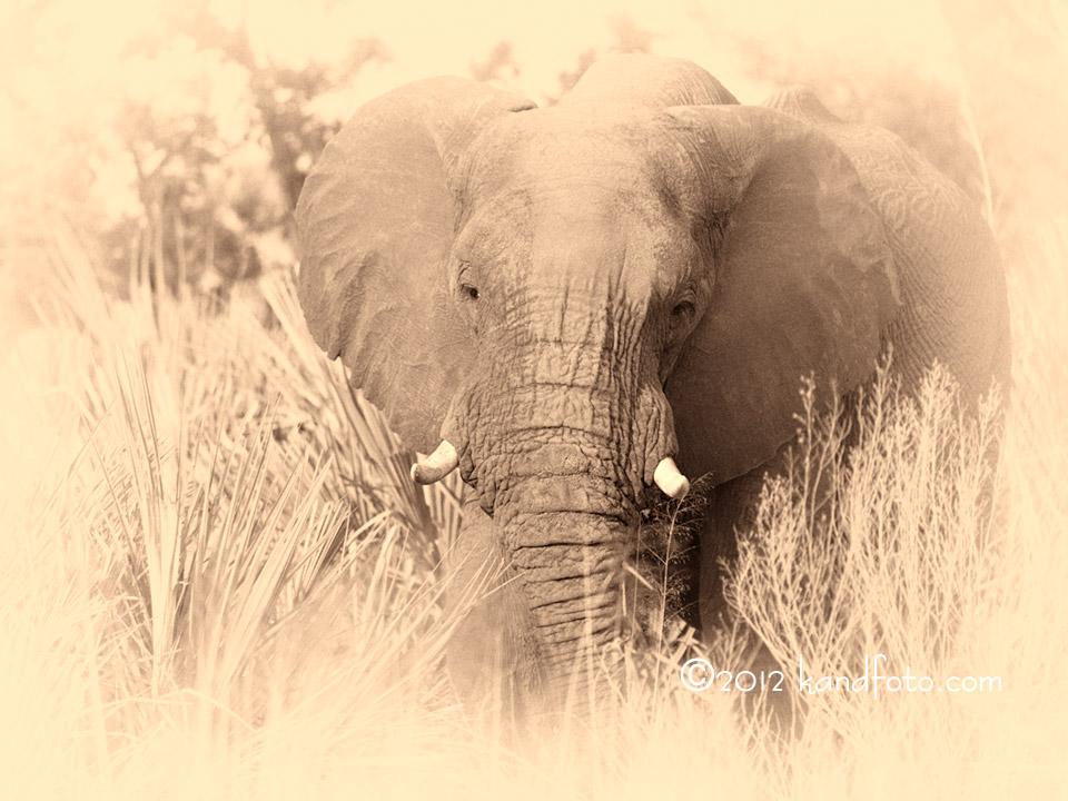 Elephant in fx