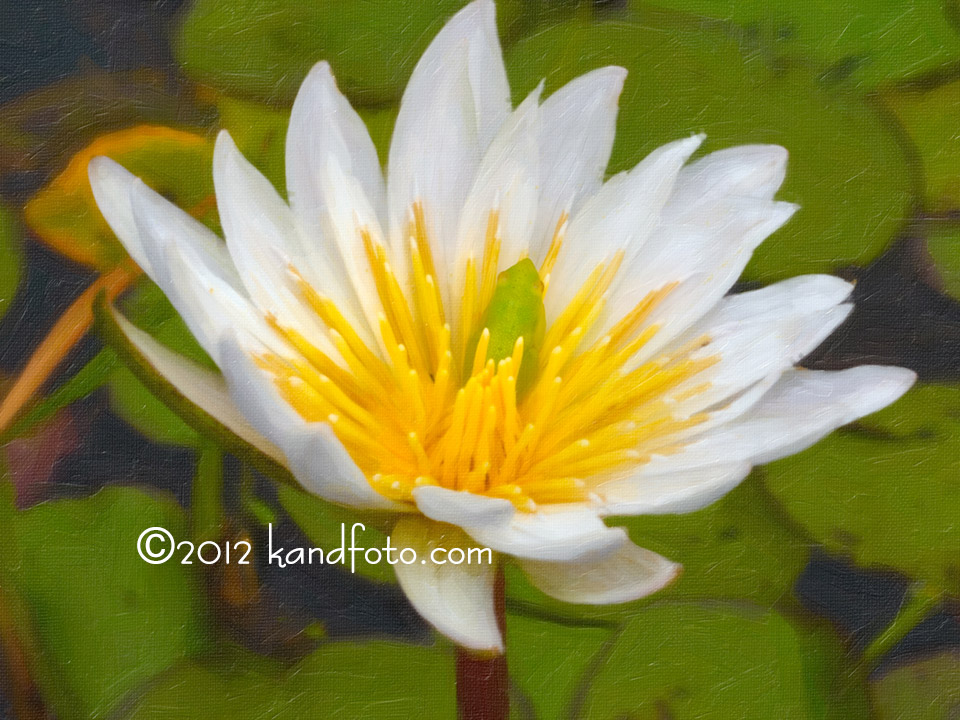 Water Lily in Oil
