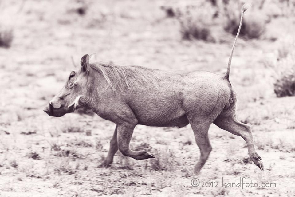 Running_hog