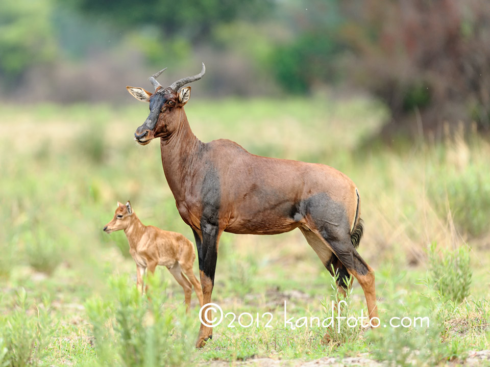 Tsessebe and calf