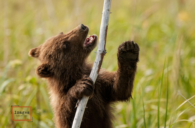 Brown_Bear-twig2.jpg