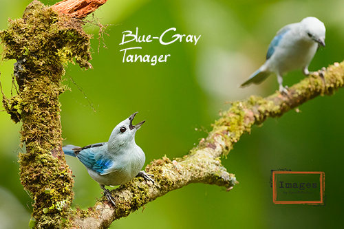 Blue-gray_Tanager-500.jpg