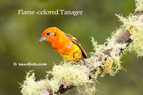 Flame-colored_Tanager-500.jpg