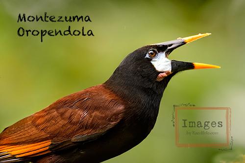 Montezuma_Oropendola-500.jpg