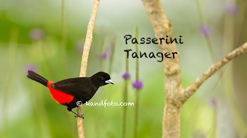 Passerini's_Tanager-500.jpg
