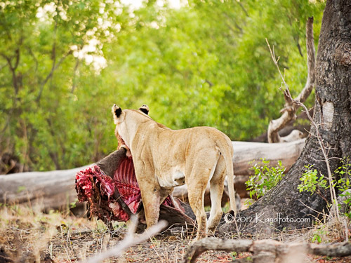 Lioness and her kill