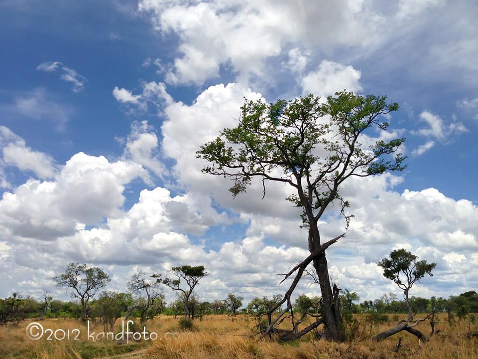 Acacia Tree, the tree of life,  growing high in the beautiful blue skies of Botswana