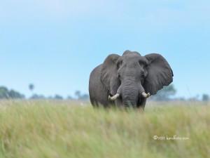 A Large Bull African Elephant alone on the Botswana grassland.