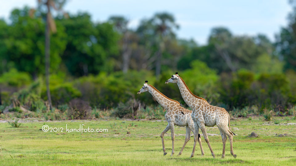 Giraffes loping across the Botswana plain