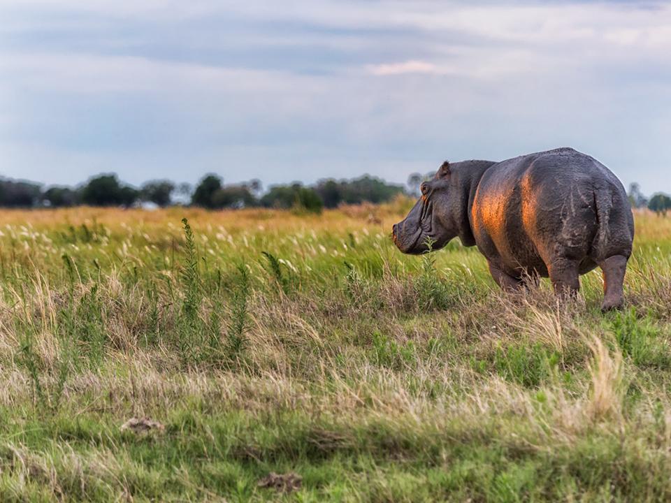 Hippo on the horizon at sunset