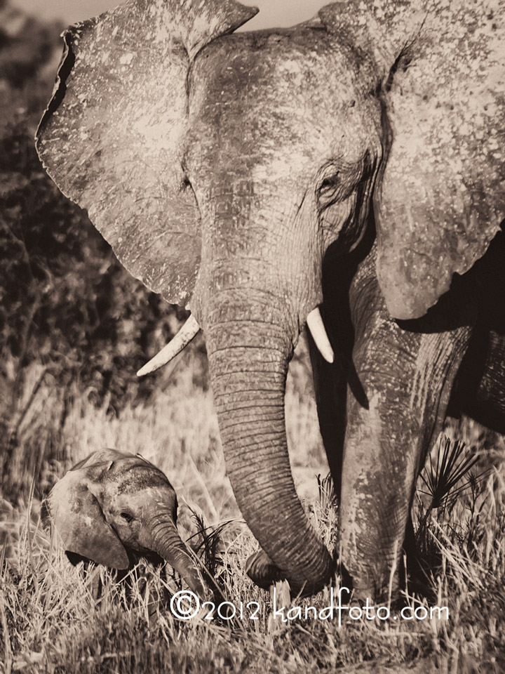 Elephant sow and calf after the mud bath