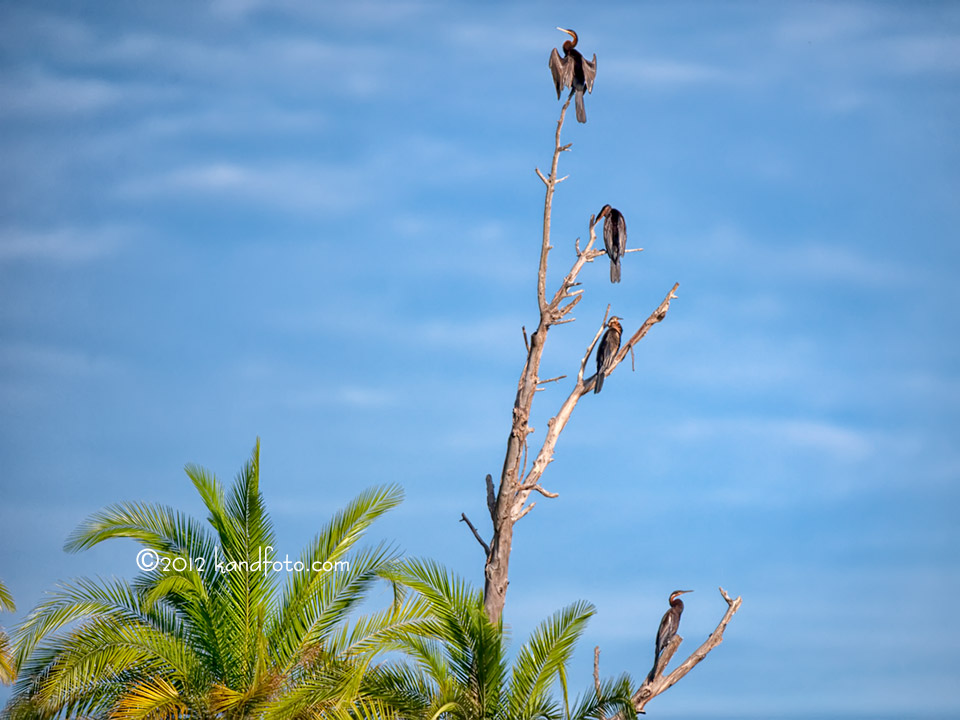 African Darters sunning themselves