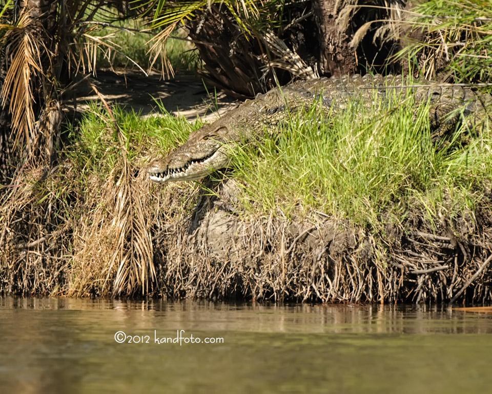 Crocodile on the bank - Okavango River