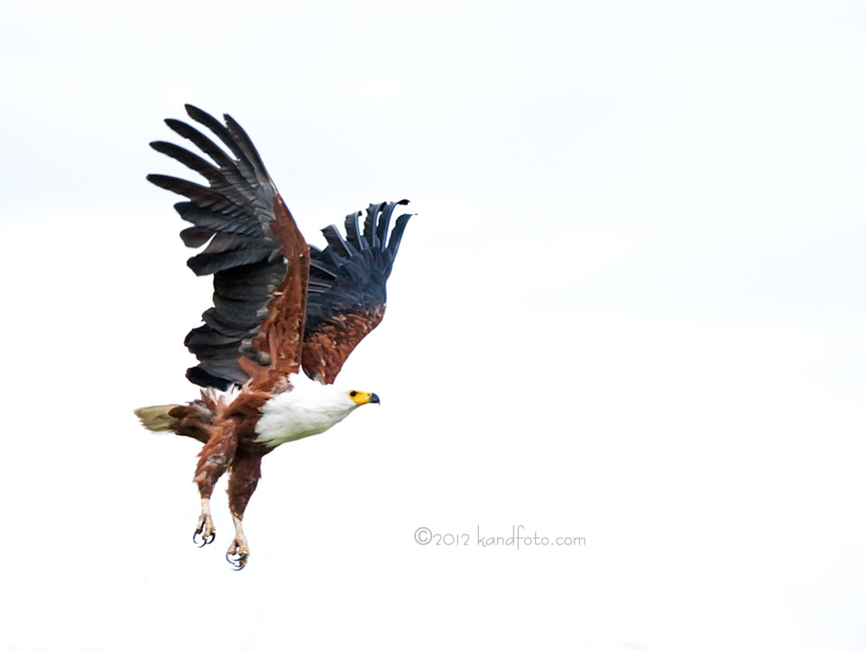 African Fish Eagle in flight along the Okavango River, Botswana