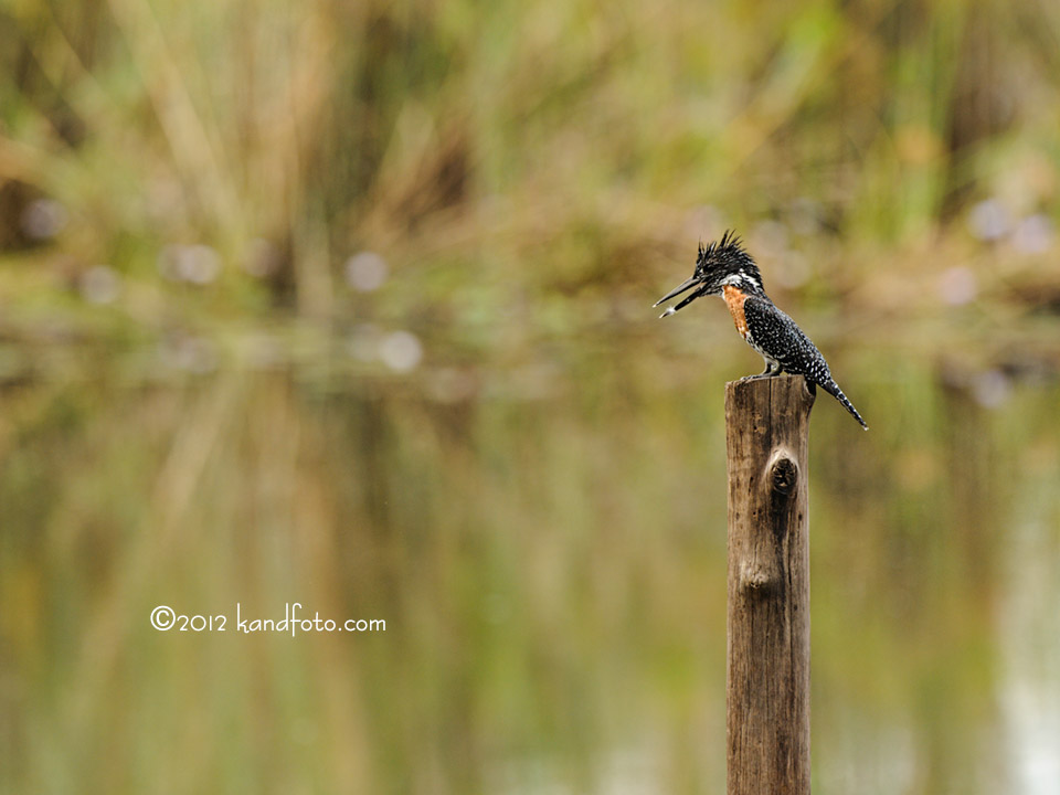 Male Giant Kingfisher