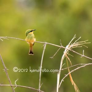 Green Bee-eater -African Bird