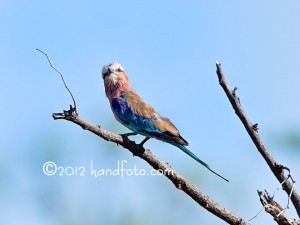 Lilacbreasted Roller - African Bird
