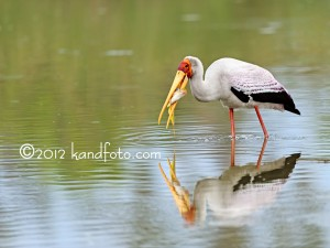 Yellow-billed Stork catching a fish
