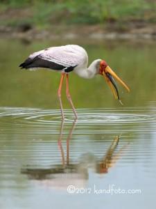 Yellow-billed Stork swallowing a fish - Botswana