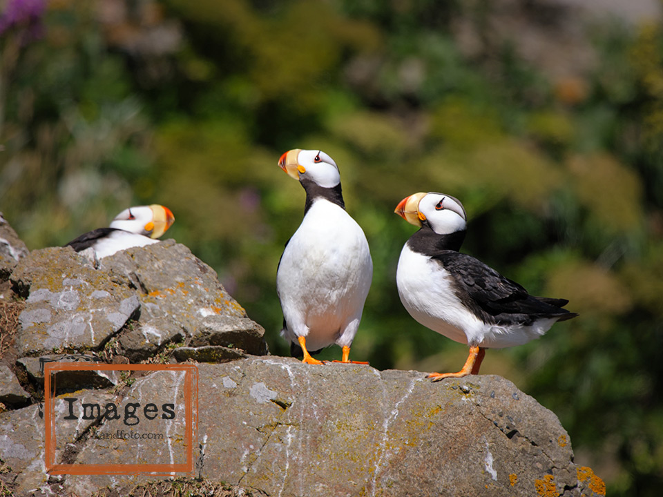 Breeding Horned Puffin adults