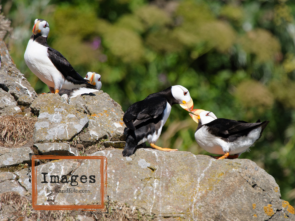 Nesting Horned Puffin Adults
