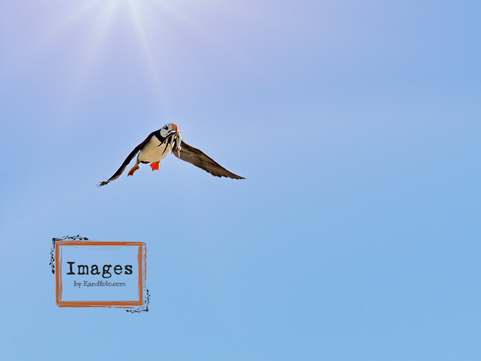Horned Puffin with fish in Flight