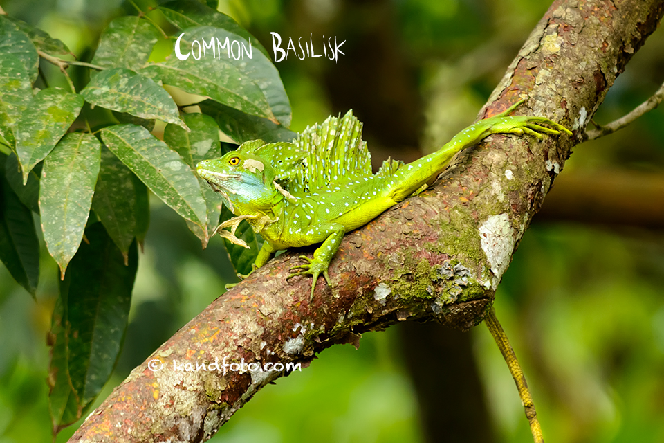 Common Basilisk in the wet forest, lowlands of Costa Rica