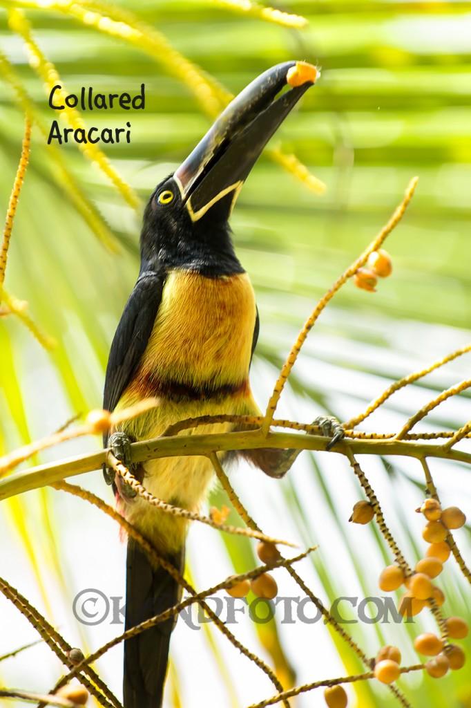 Collared Aracari toucan, lowlands of Costa Rica