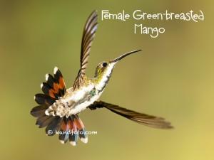 female Green-breasted Mango hummingbird in Costa Rica