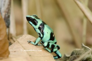 Green and Black Poison Dart Frog, lowlands of Costa Rica