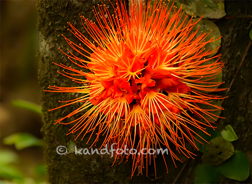 Brownea macrophylla saludines with brilliantly orange flower growing on trunk.