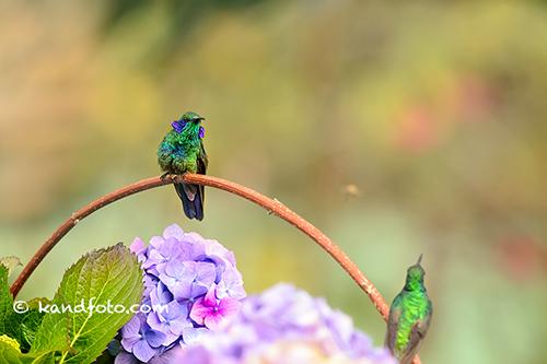 Male Green Violet-ear