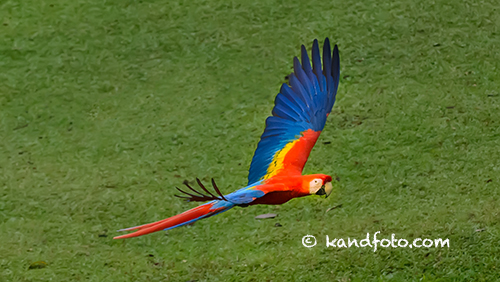 Flying Wild Scarlet Macaw in Costa Rica