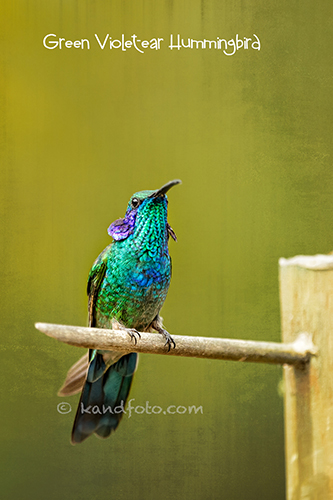 Male Violet-eared