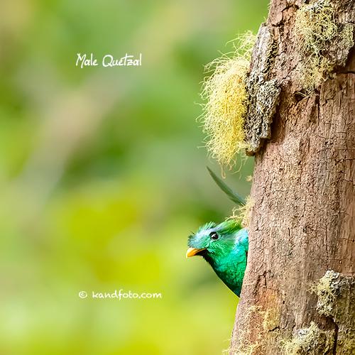 Nesting Quetzal