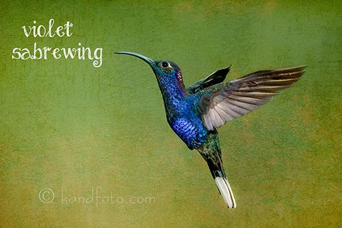 Violet Sabrewing Hummingbird - Costa Rica