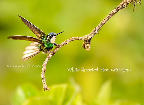 Male White-throated Mountain Gem in highlands of Costa Rica