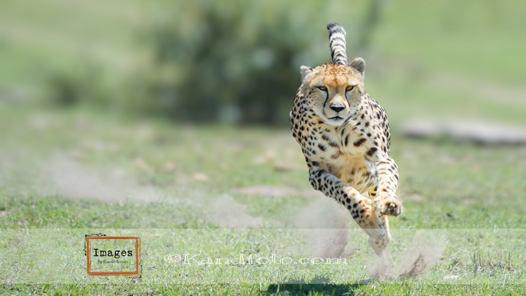 Female Cheetah on the hunt in the Masi Mara Game Reserve, Kenya