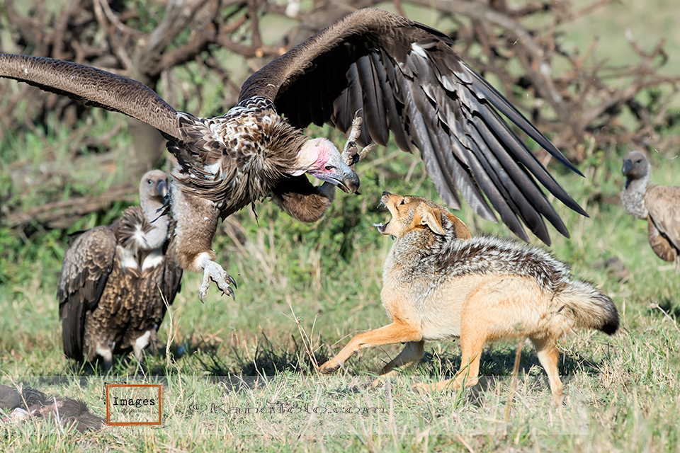 Lappet-faced_Vulture_fighting
