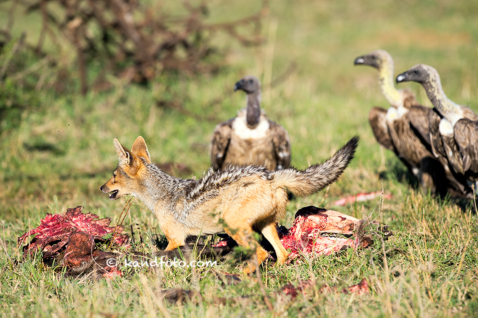 White-backed Vulture and Jackal