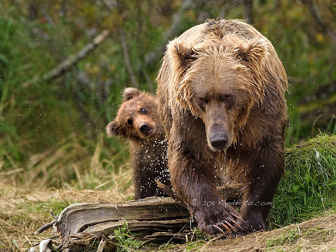 Coastal Brown Bear sow and one of her cubs - Alaska