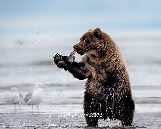 A two year old coastal brown bear cub learning the technique of fishing at Lake Clark National Park, Alaska.