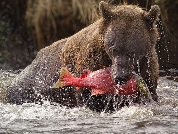 Grizzly sow catching a salmon